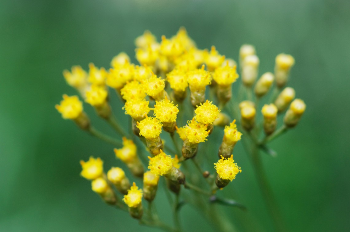 Helichrysum against allergies