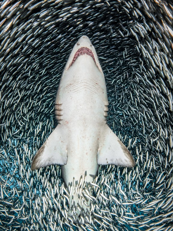 sand tiger sharkTanya Houppermans