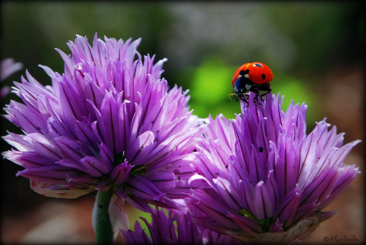 10 plants to attract ladybugs in your garden lifegate