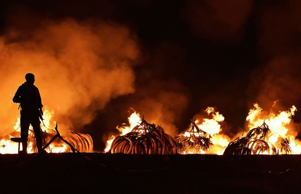 Illegal ivory tusks are burned in Kenya