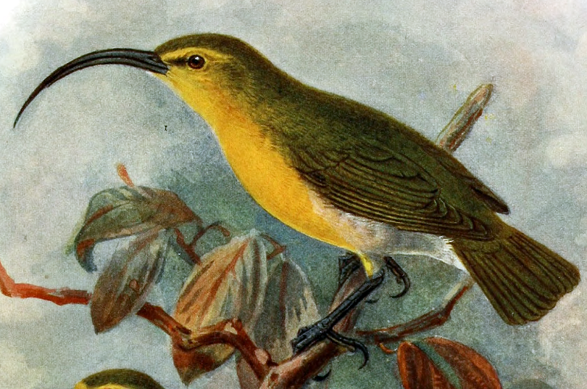 Drawing of an O'ahu 'akialoa specimen