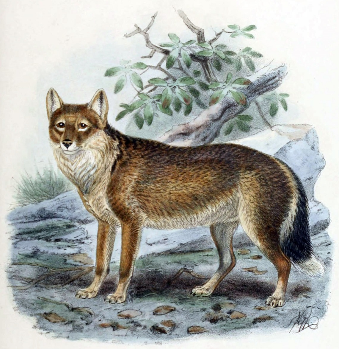 Drawing of a Falklands wolf