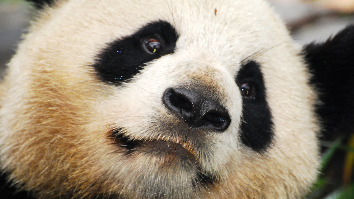 extinction of giant panda In short, the giant panda is still an endangered species, and protection effort and enthusiasm from the global conservation community should be strengthened continuously otherwise we'll once again witness the truth of the chinese proverb:.