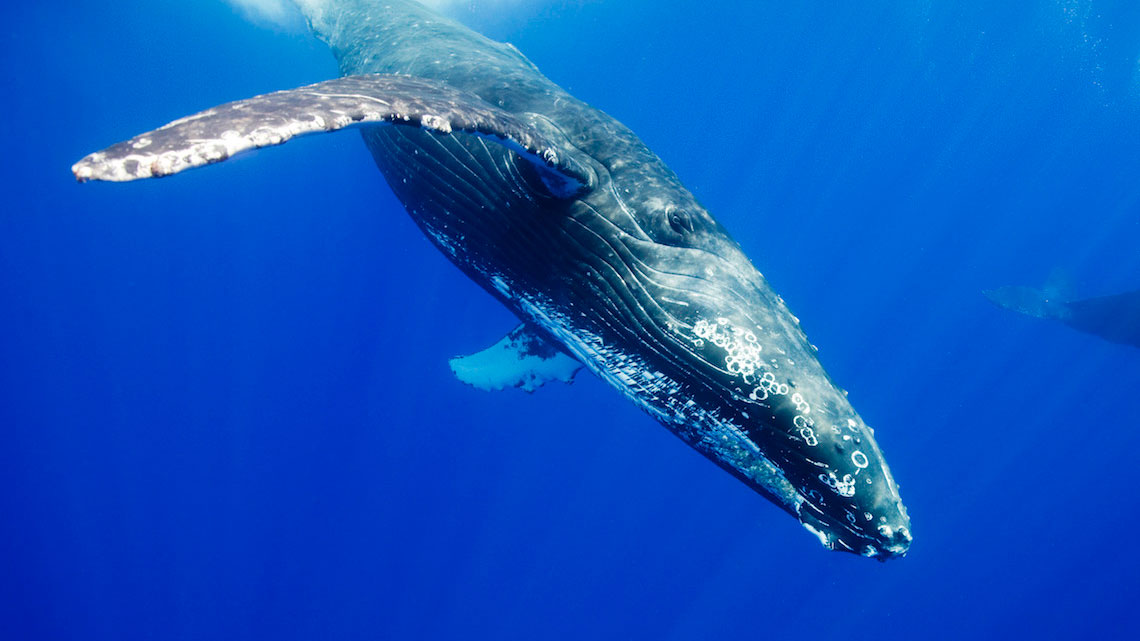 photo of humpback whale