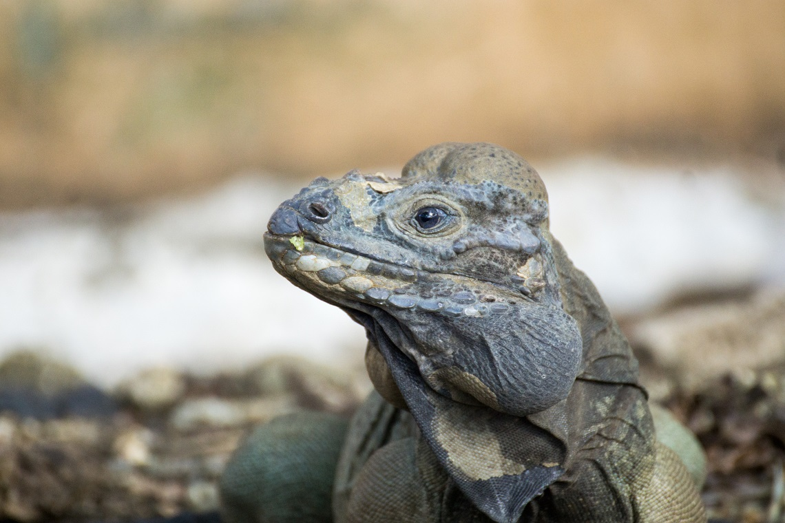 Rhinoceros iguana in its Dominican habitat