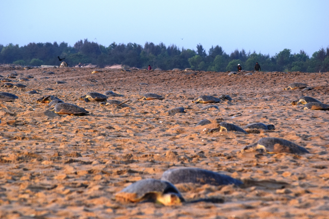 Mass nesting by Olive Ridley marine turtles near Rushikulya river mouth, Odisha © Basudev Mahapatra