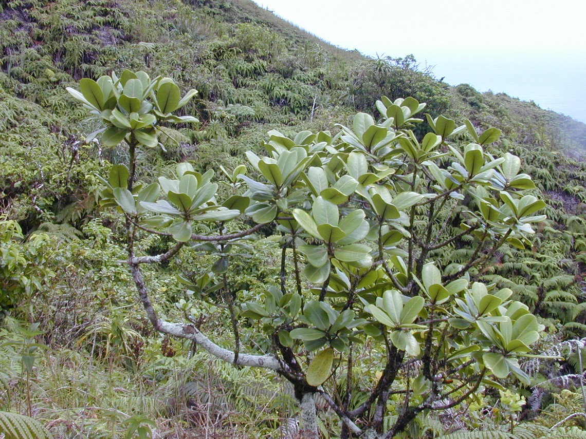 Native Hawaiian plant