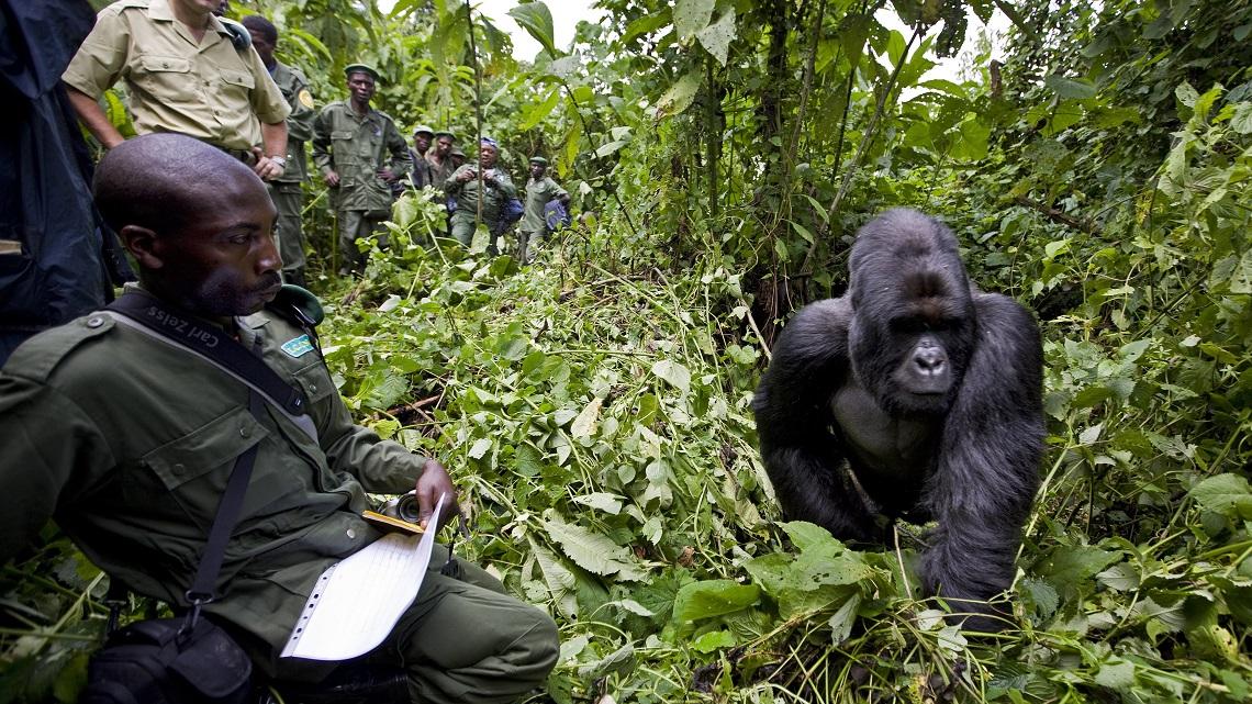 Image result for virunga gorilla park WAR