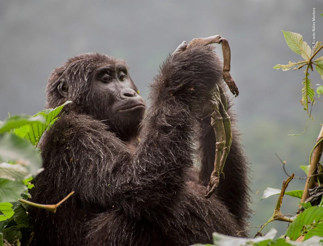 a golden couple of endangered monkeys wins the wildlife photographer