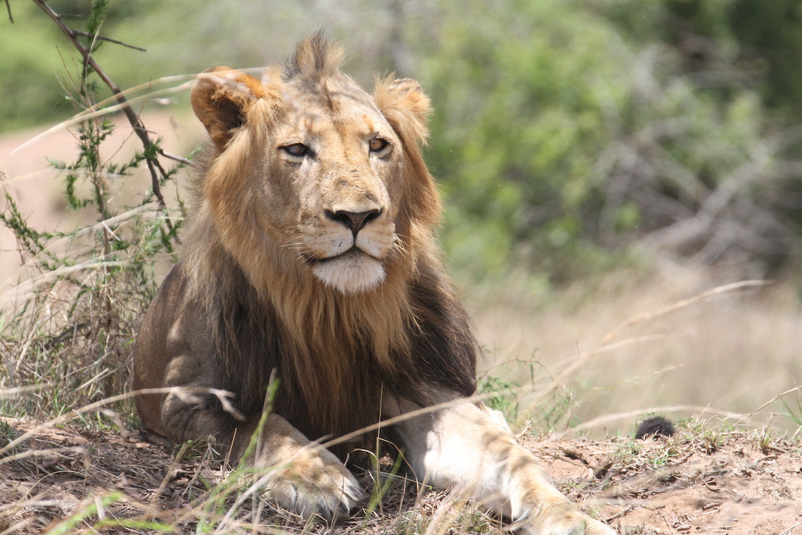 Ntwari, the dominant male in Akagera © Sarah Hall