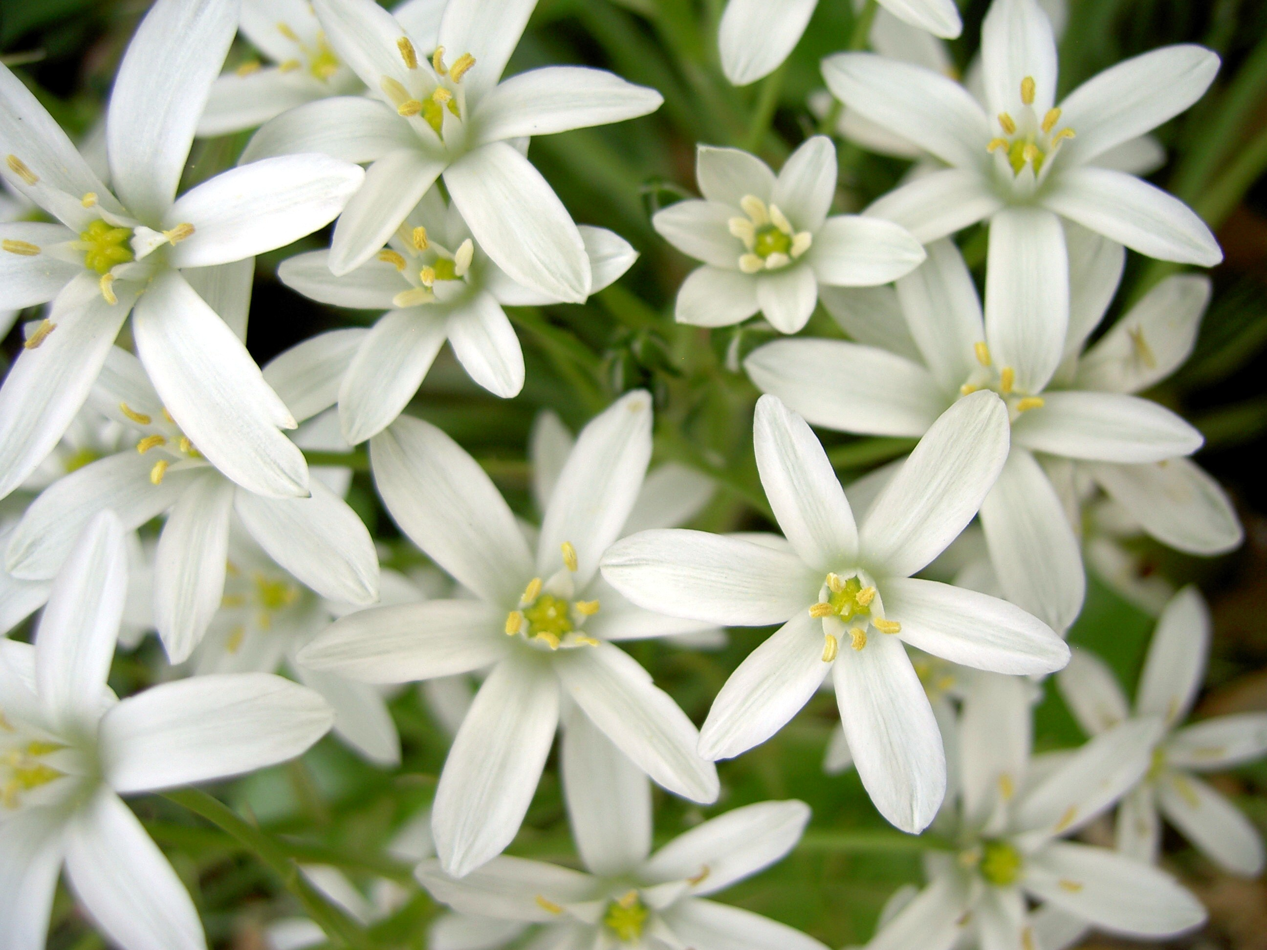 Star Of Bethlehem The Flower That Lights Up The Darkness Of The