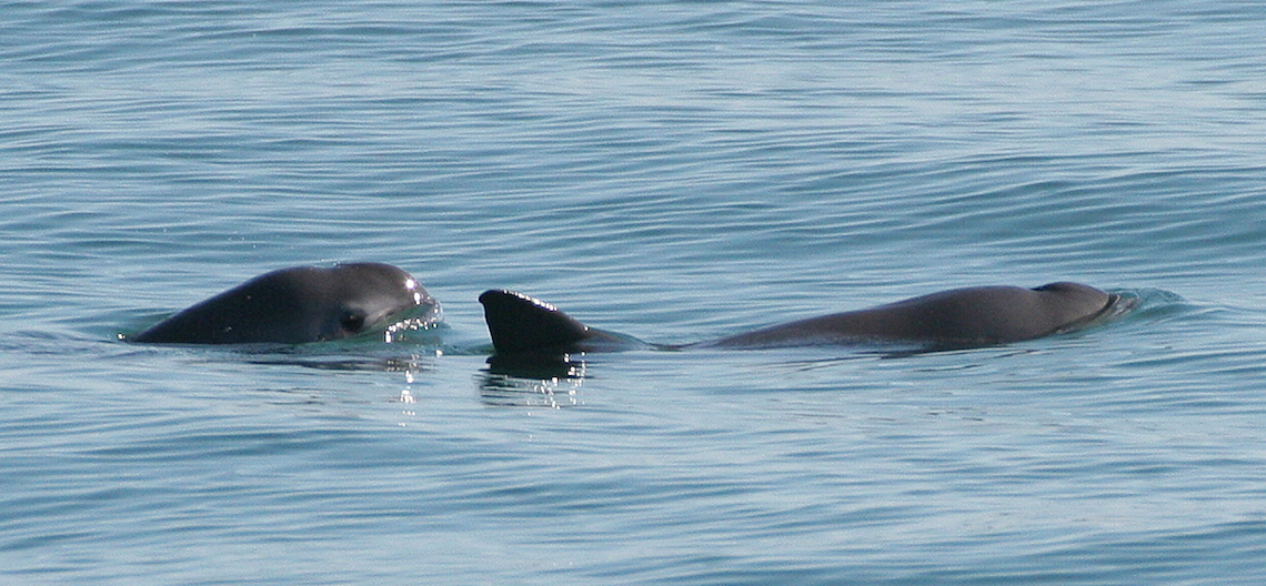 surfacing vaquita
