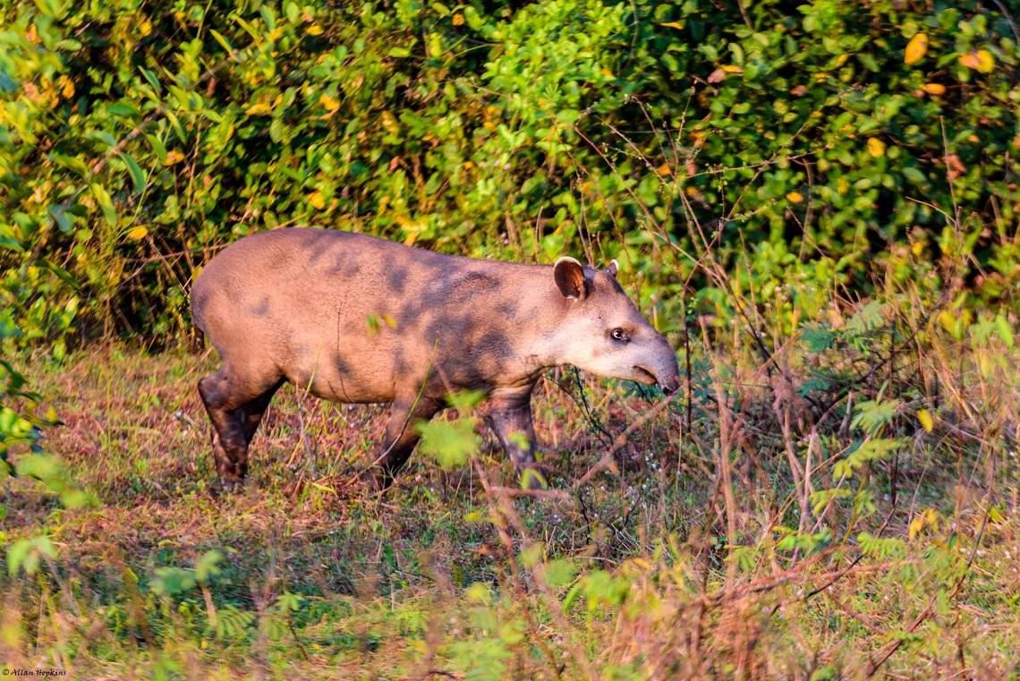 tapir, brazil
