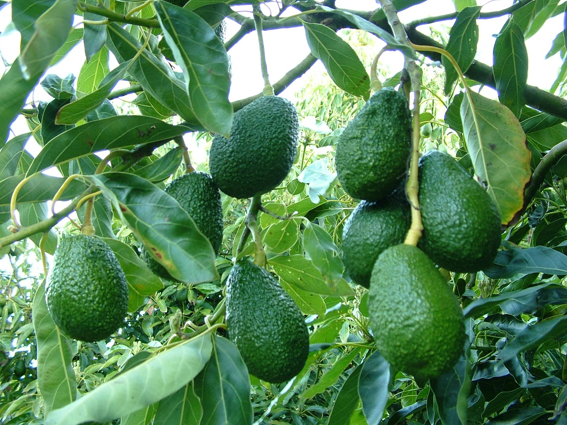 Avocado How Hunger For Guacamole Is Causing Deforestation In Mexico