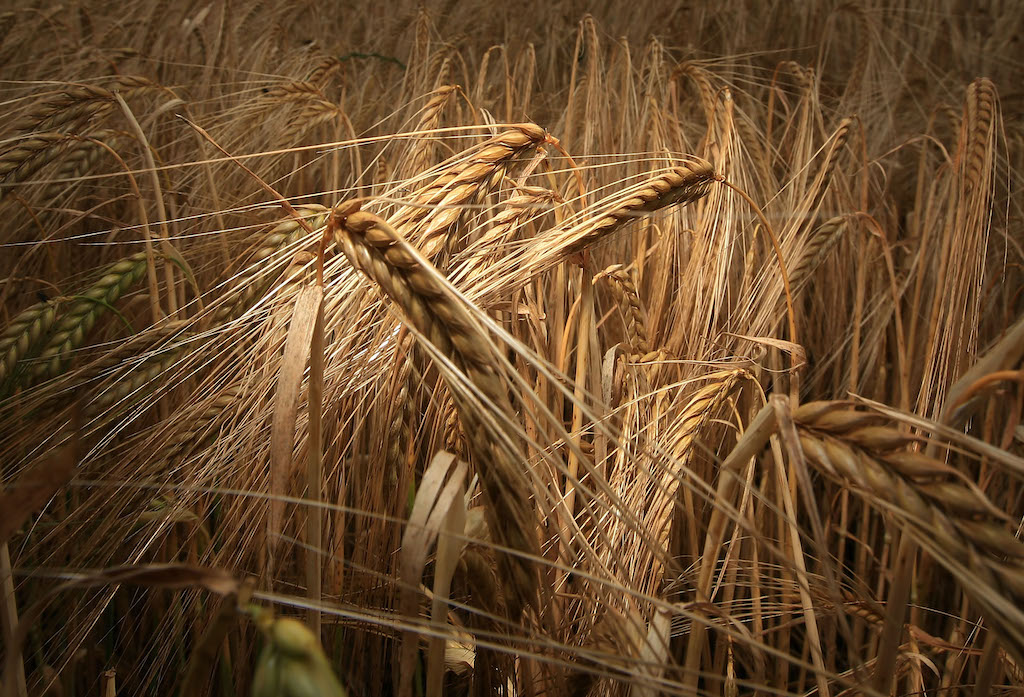 barley crops yield climate change beer