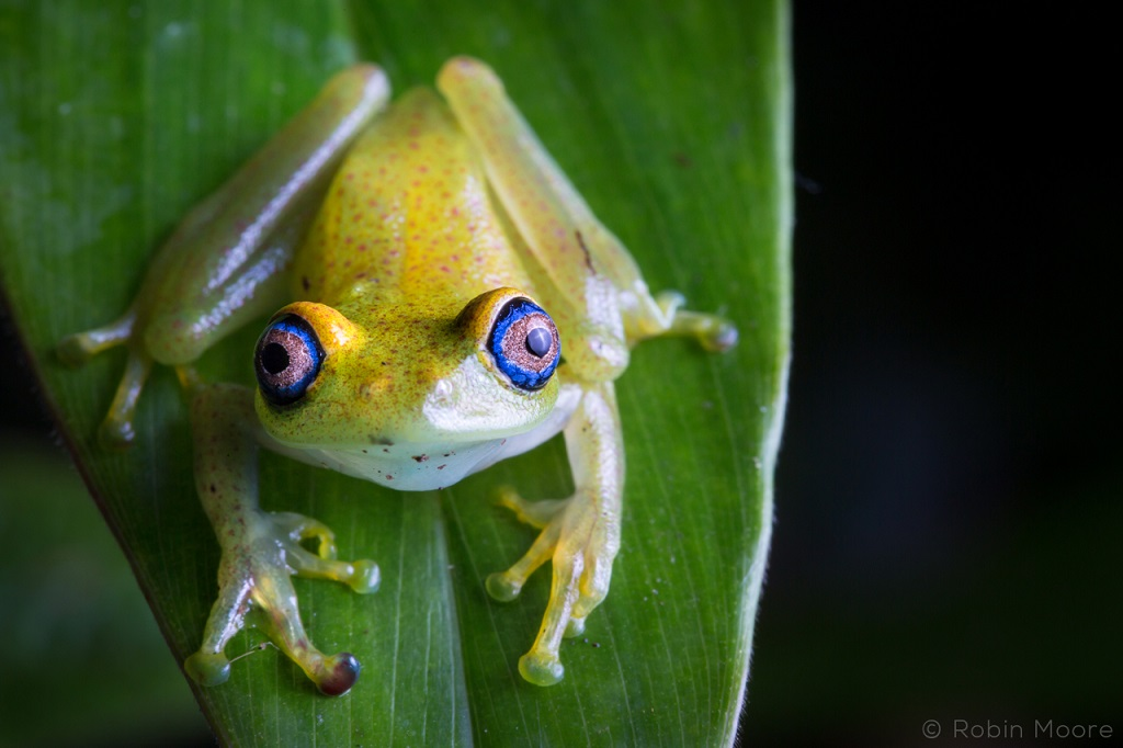 Green Bright-eyed Frog, Boophis viridis, from Andasibe