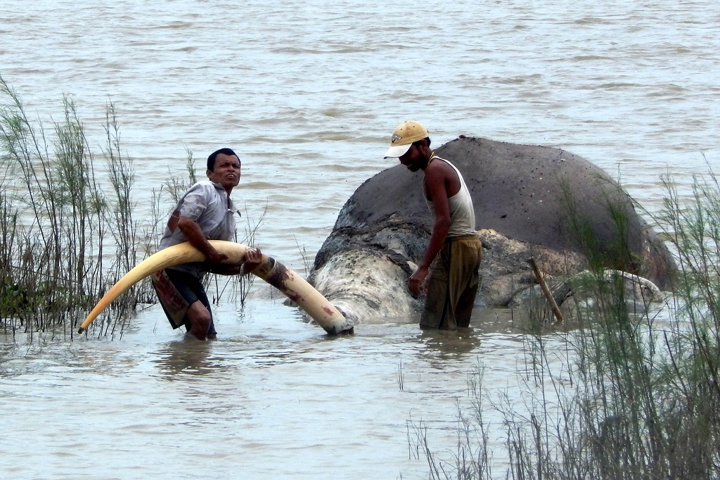 India: Wild elephant killed in Assam