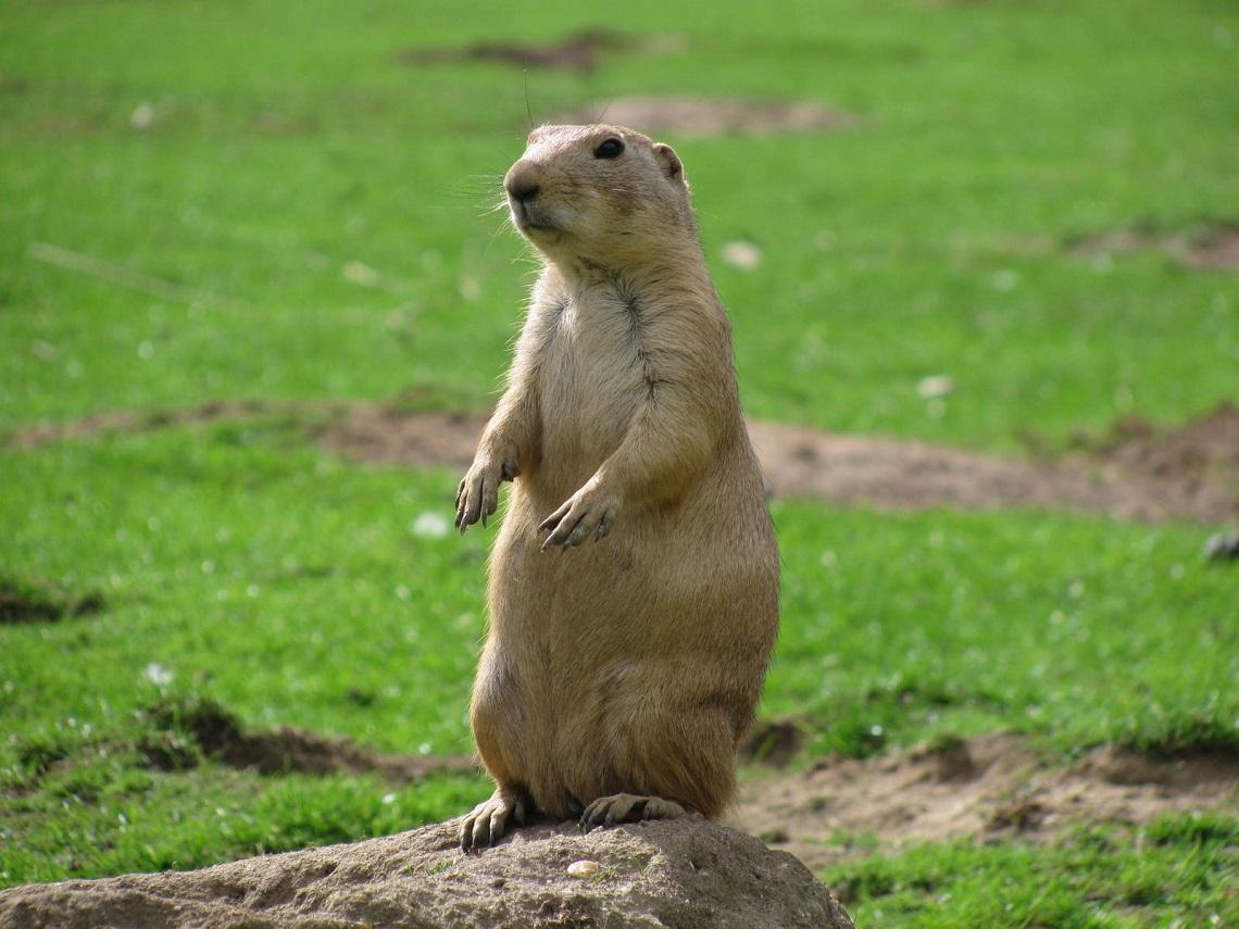Black Tailed Prairie Dog Endangered