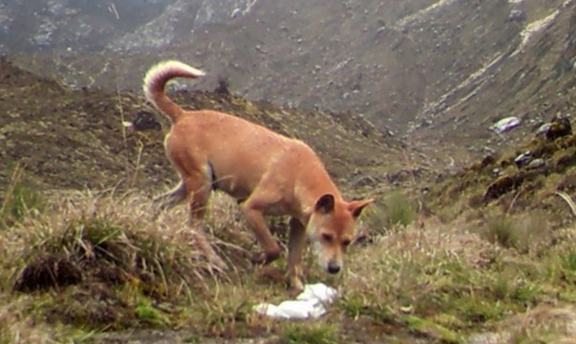 New Guinea highland wild dog