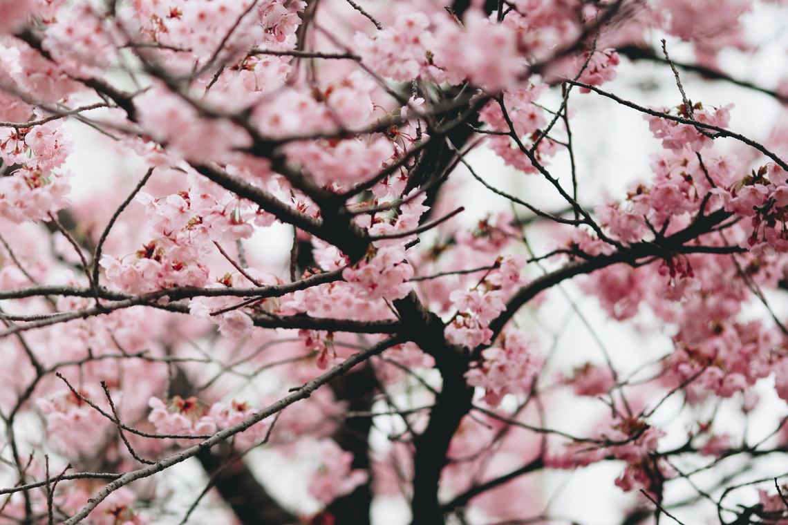 Japan Cherry Blossom Season Will Arrive Early In Spring 2019 Because Of Climate Change Lifegate