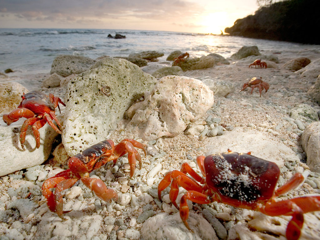 The Strange Ritual Migration Of 50 Million Red Crabs On Christmas