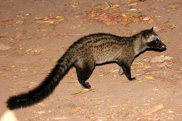 Image result for civet cat china