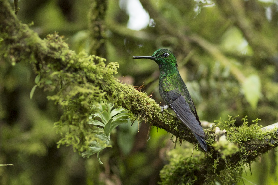 Colibrì in Costa Rica
