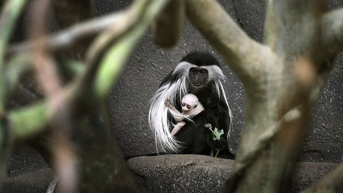 colobus conservation restoring kenya s coasts to protect monkeys