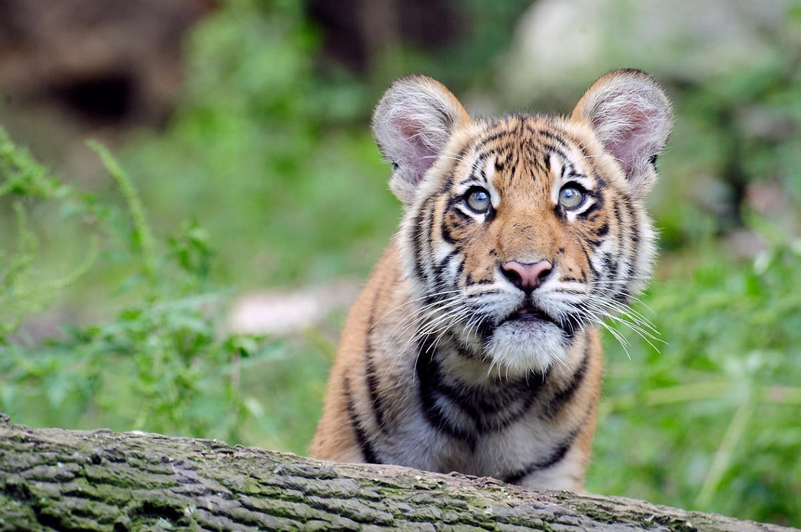 Global wild tiger populations are on the rise for the first