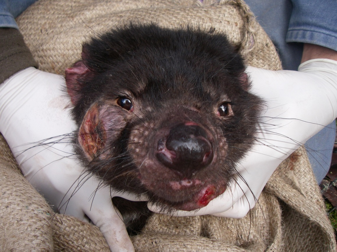 cancer devil facial killing tasmanian