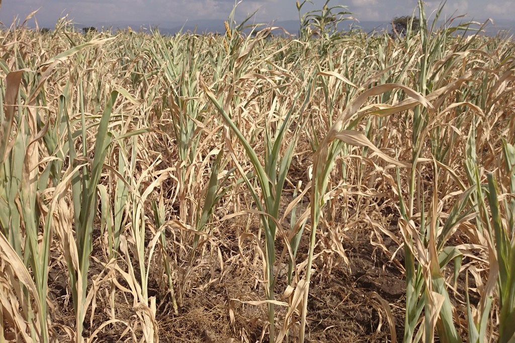 Maize crops in most parts of Zambia is wilting ©  Alick Phiri