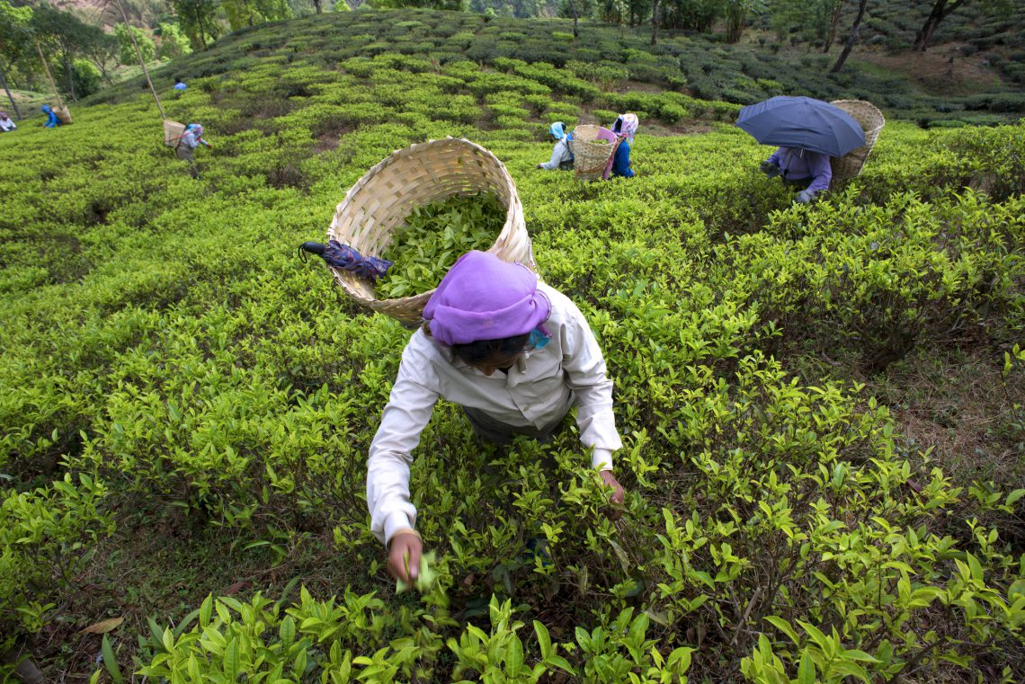 India, tea plantations with sustainable certifications ...