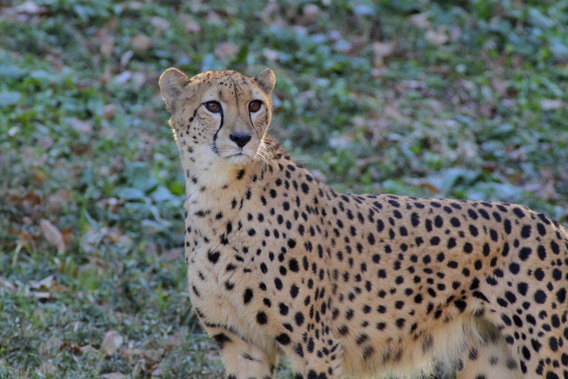 Asiatic cheetahs are desperately racing toward extinction