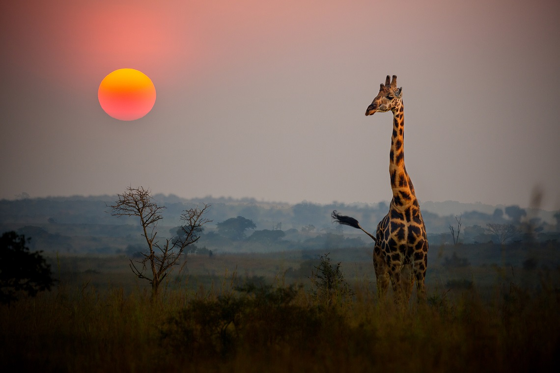 giraffes are being killed for their tails in the congo lifegate