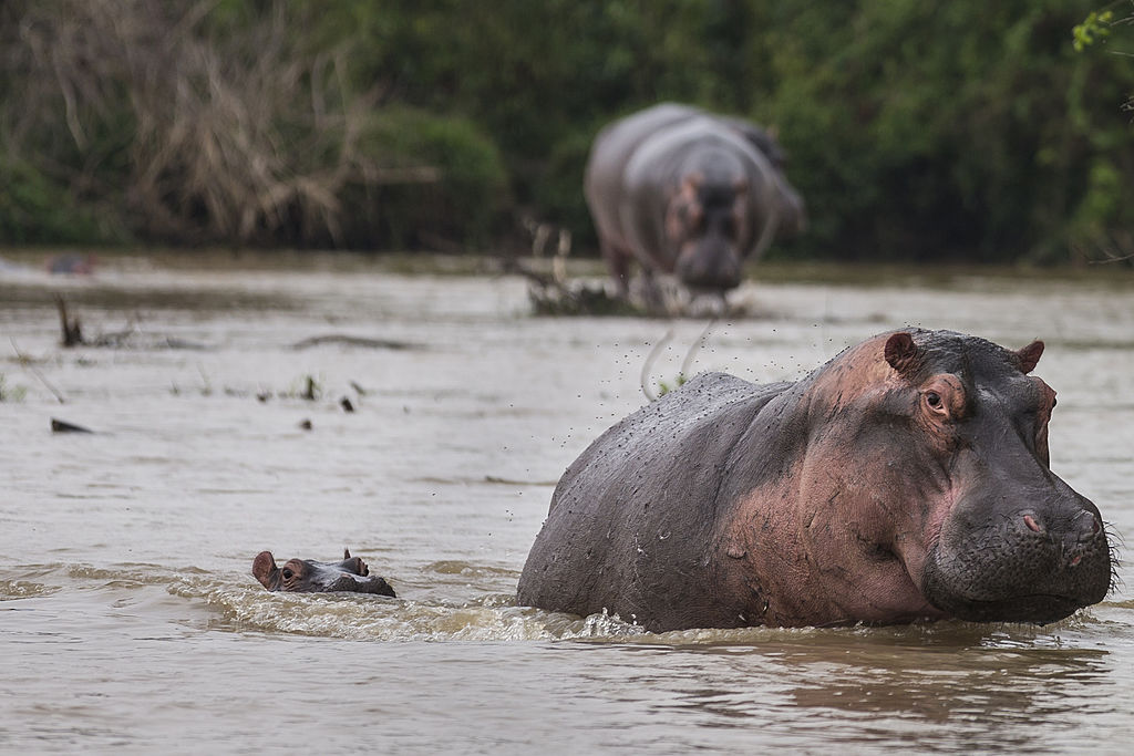 hippos zambia cancels culling