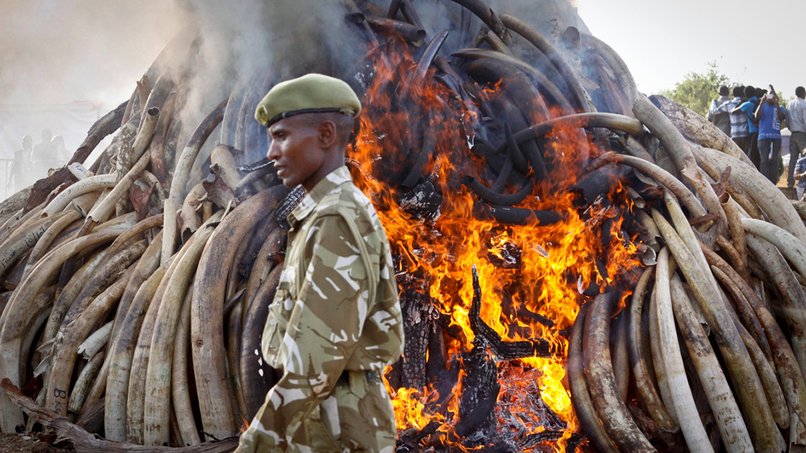 ac28e7e384f09 Why Kenya burnt 100 tonnes of ivory
