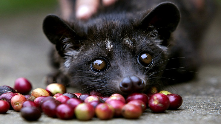 Kopi Luwak or civet coffee, the world's most expensive brew kills Asian palm civets