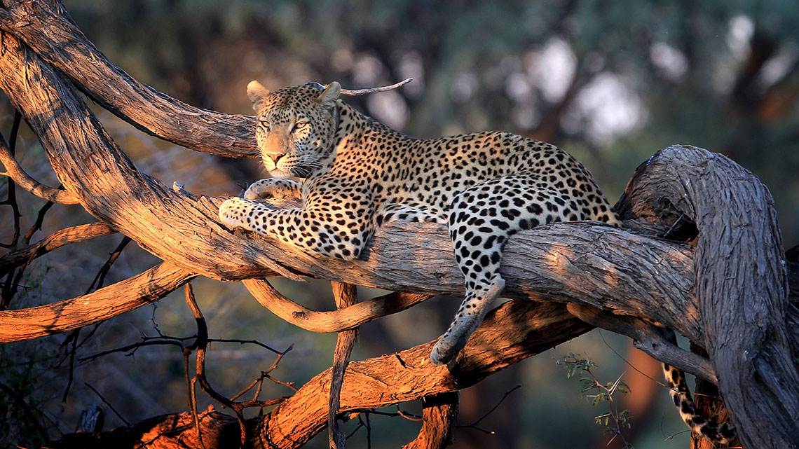 Leopard Populations Decline Dramatically New Research Reveals