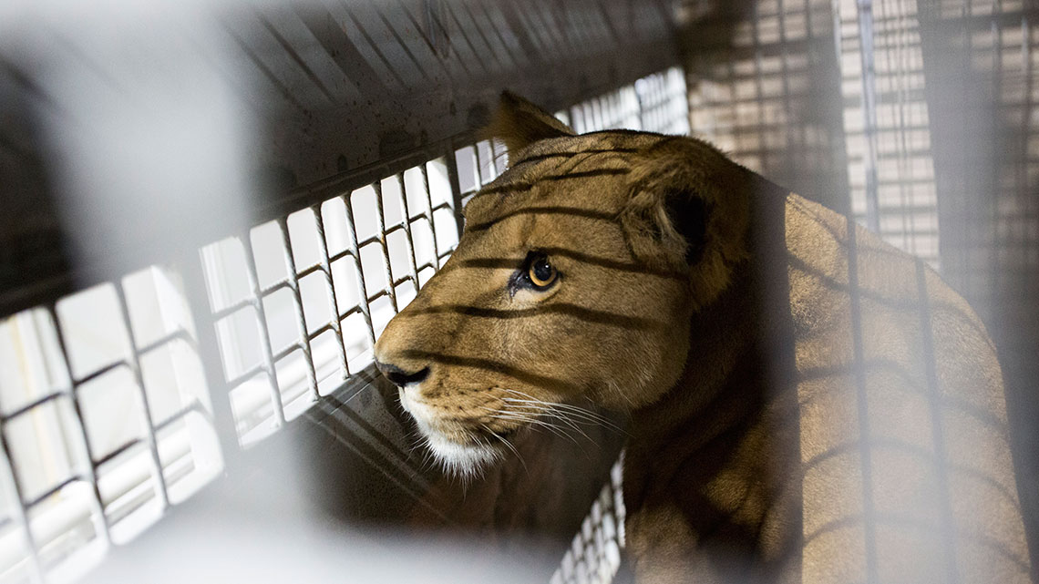 South Africa, lions bred in farms for trophy hunting and the
