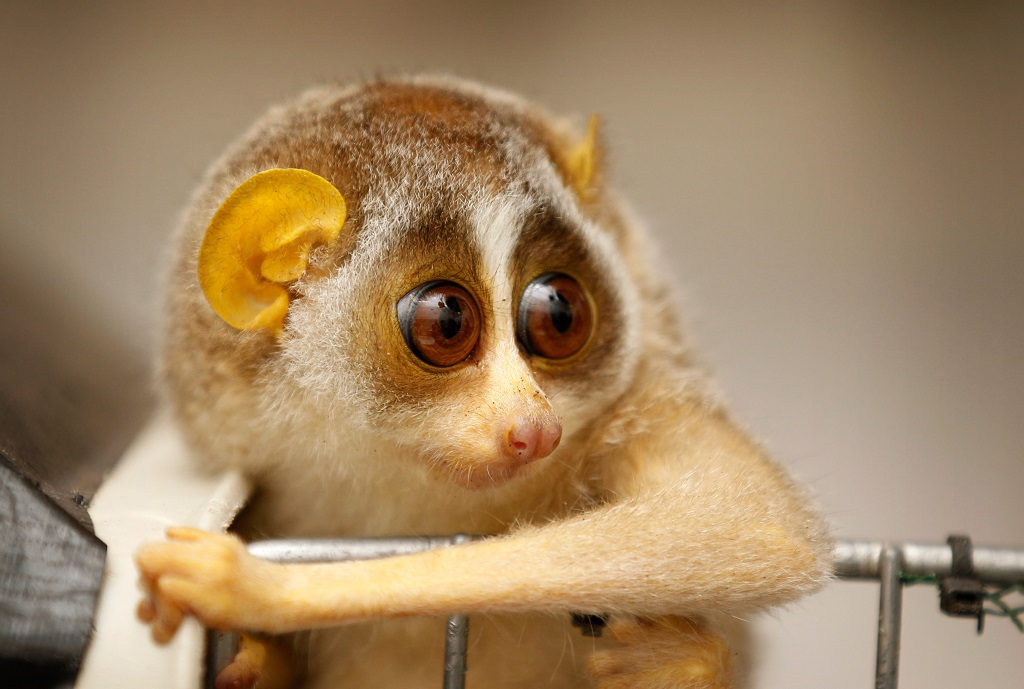 Two Baby Loris Are Given A Health Check By Veterinary Staff At London Zoo