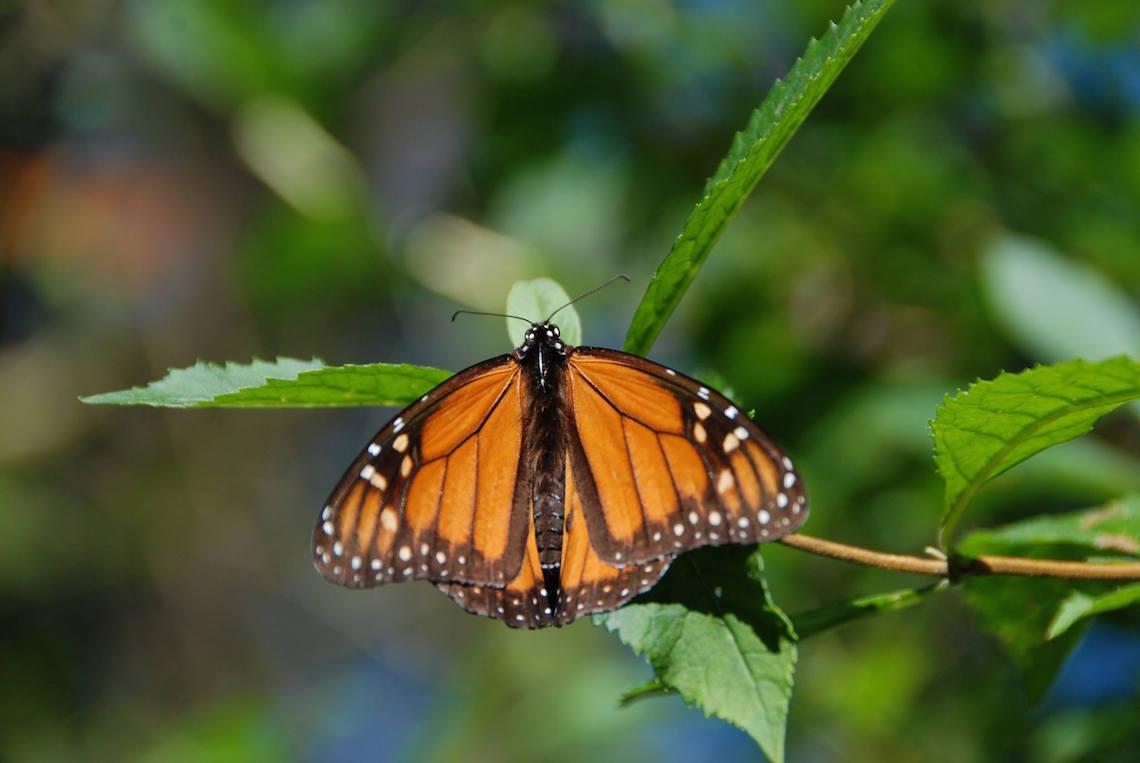 monarch butterflies increase by 200 in mexico u0027s el rosario sanctuary