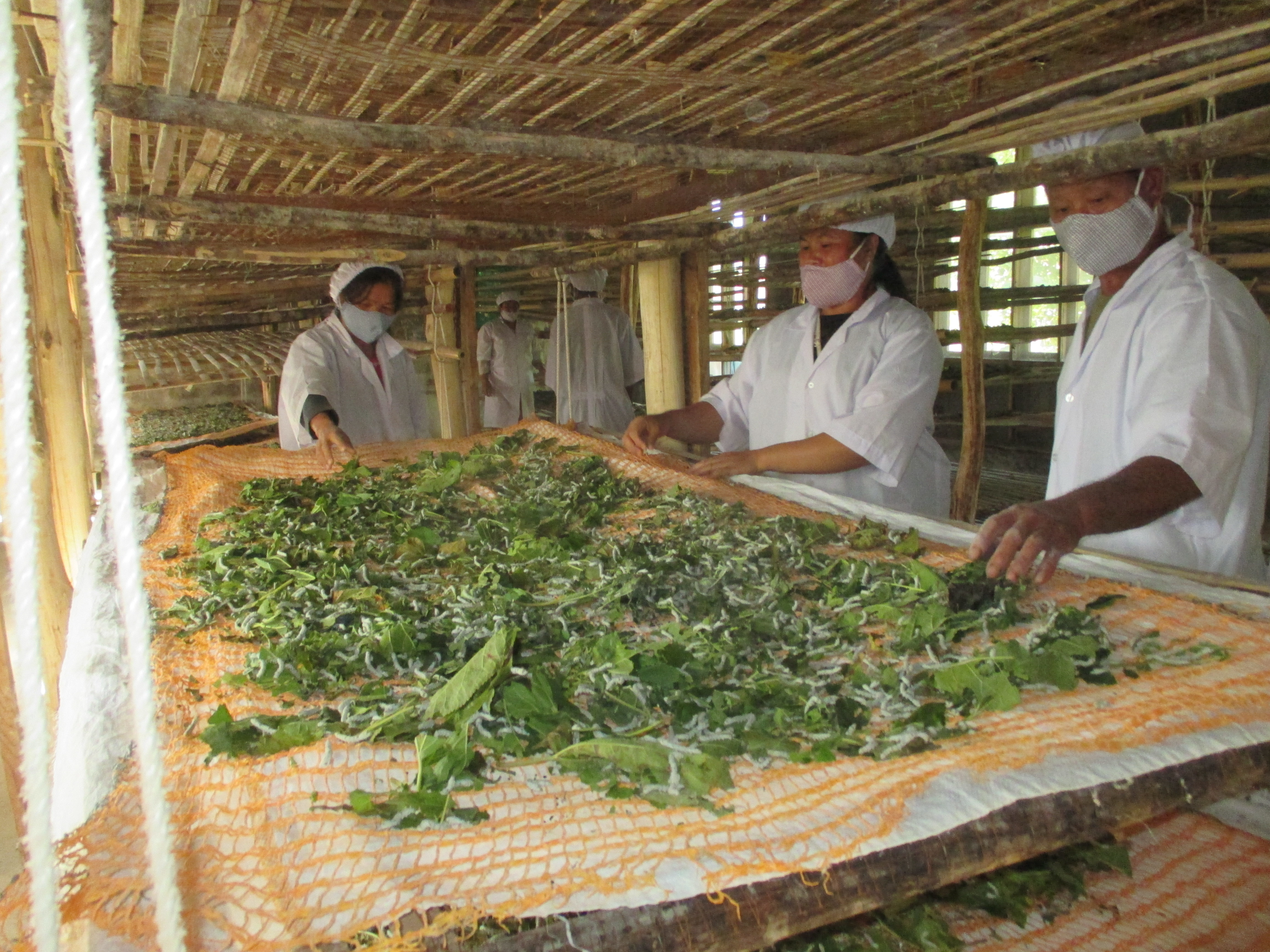 Thousands of silkworms are fed