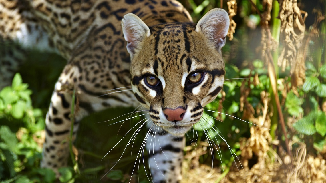 Texas Builds Road Underpasses To Save The Ocelot