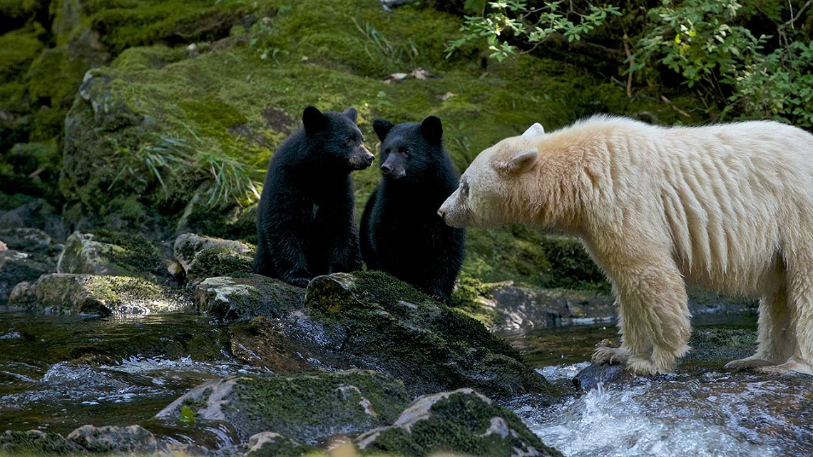 an analysis of the canadian black bear in the world He would name that bear, his pet, 'winnipeg', 'winnie' for short, an action that would go on to inspire the world's most famous bear, winnie-the-pooh.
