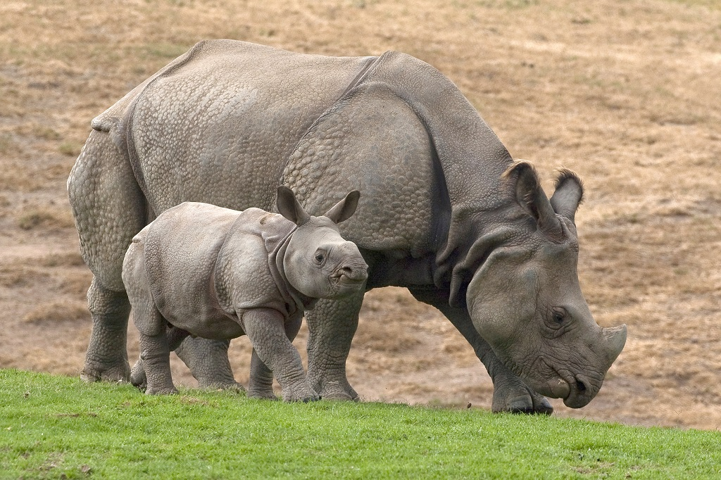 Indian rhinoceroses Bandhu joins his mother Jatri in the Asian Plains exhibit at the San Diego Zoo's Wild Animal Park