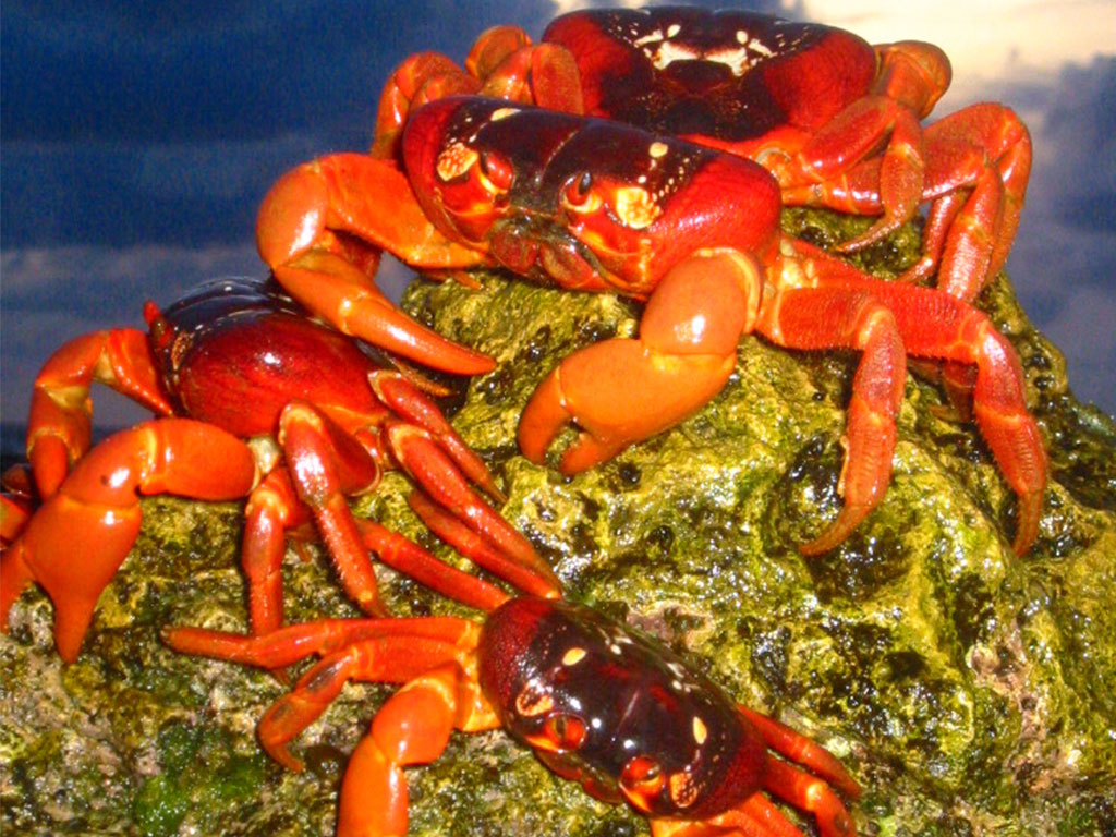 Christmas Island Red Crab.The Strange Ritual Migration Of 50 Million Red Crabs On