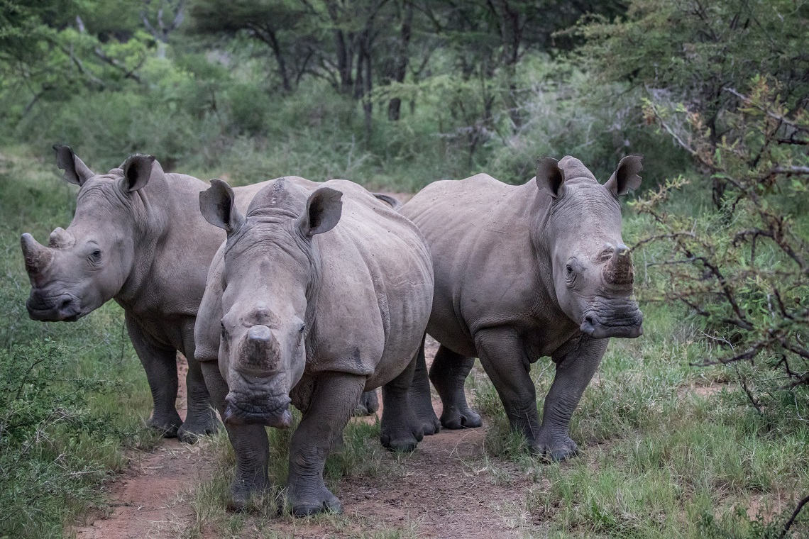 poaching, rhinos, south africa, decline