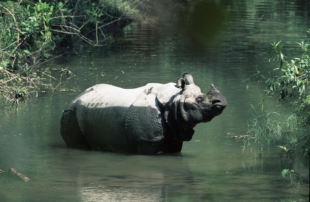Rhinoceros unicornis, Indian rhinoceros, adult  resting in the river.  Royal Chitwan National Park, Nepal
