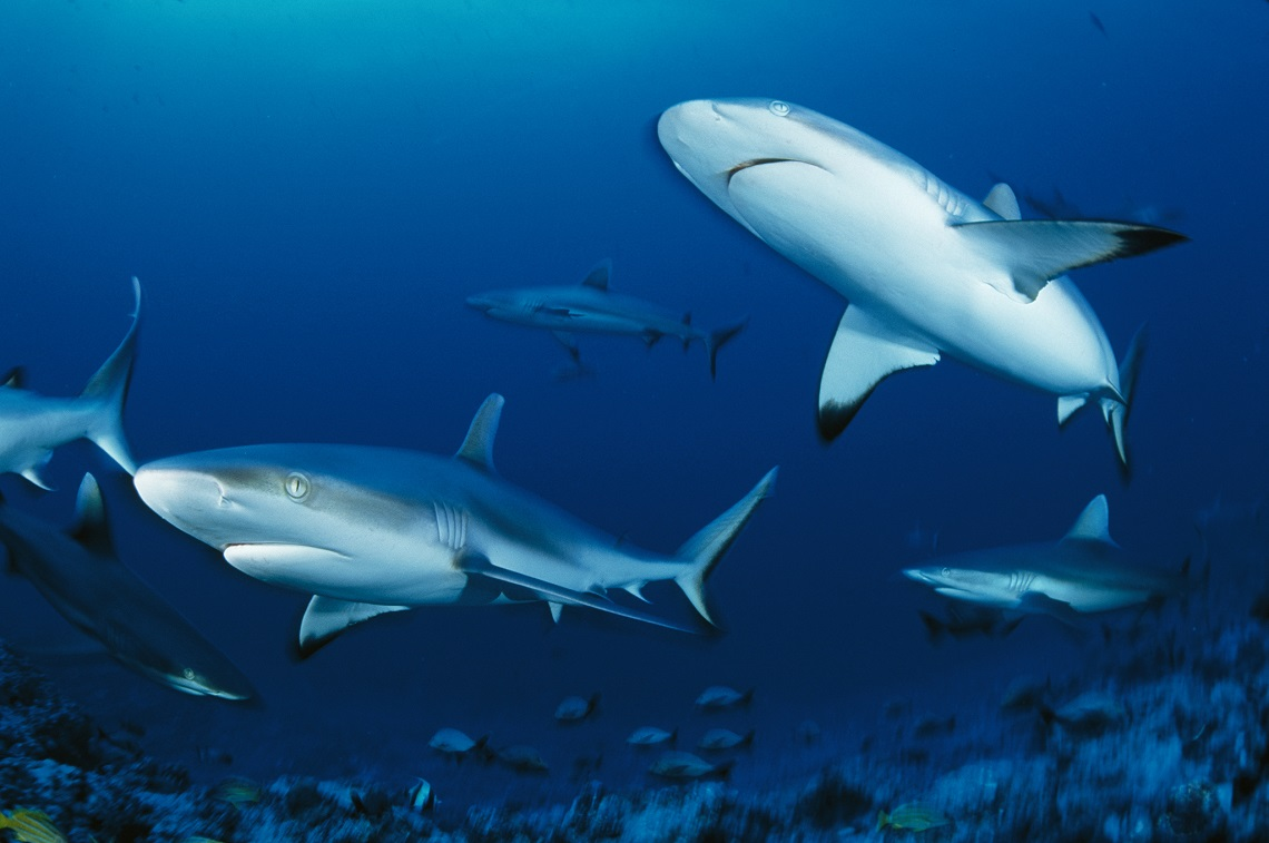 A Group of Gray Reef Sharks swims around in the ocean.