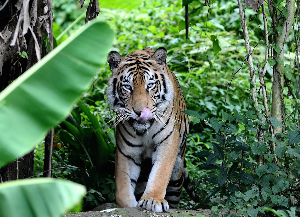 biodiversity of tigers in asia Researchers have determined that tigers occupy less than 7 percent of their historic range robinson and others advocate a two-step process that focuses on monitoring and protecting tigers in the 42 source sites and a longer-term effort to preserve the large landscapes tigers need to hunt and roam.